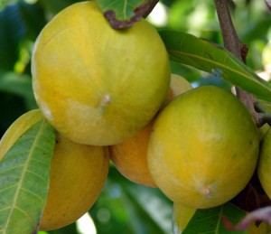 Lucuma le fruit antioxydant des Andes